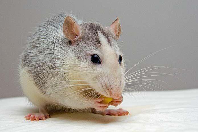 Jak poznac ze w domu sa myszy
